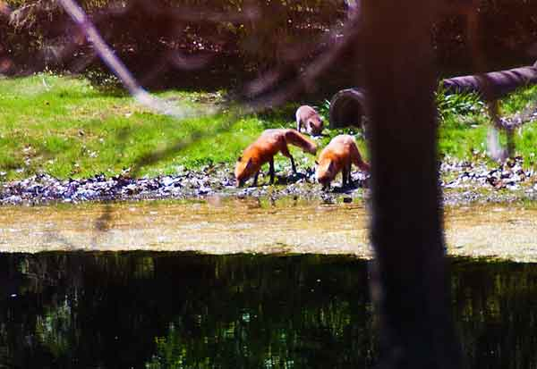 Foxes at Pond