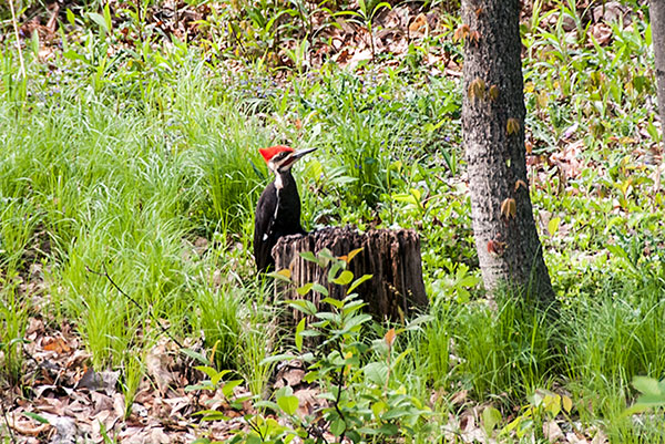 Pileated
